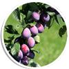prunes_picto